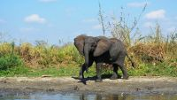 An elephant in Malawi's Liwonde National Park